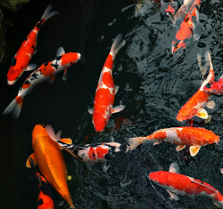 Indoor Koi Ponds
